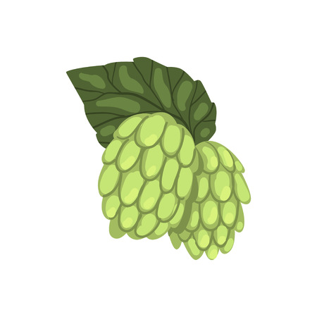 Hops, humulus lupulus plant, element for brewery products design vector Illustration isolated on a white background. Illustration