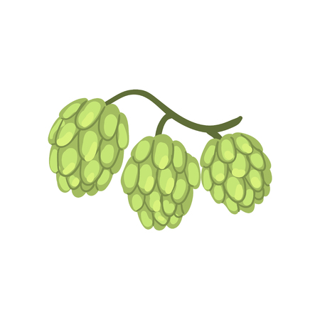 Hop cones, humulus lupulus plant, element for brewery products design vector illustration on a white background.