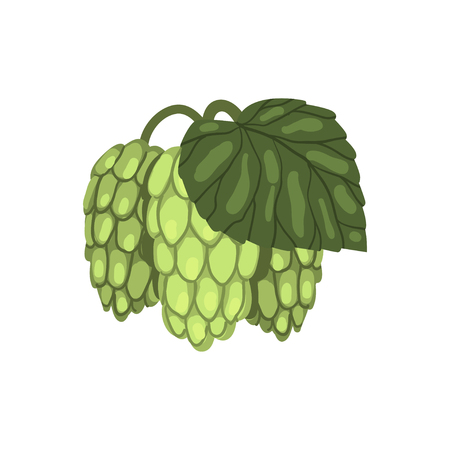 Green hop cones with leaf, humulus lupulus plant, element for brewery products design vector illustration on a white background.
