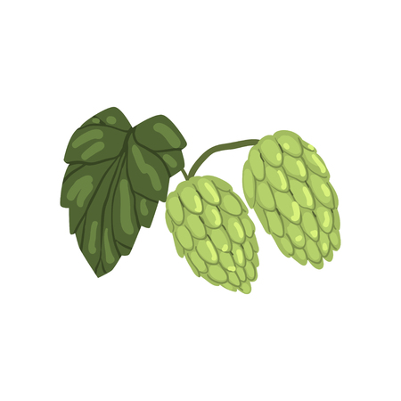 Green hops with leaf, humulus lupulus plant, element for brewery products design vector illustration on a white background.