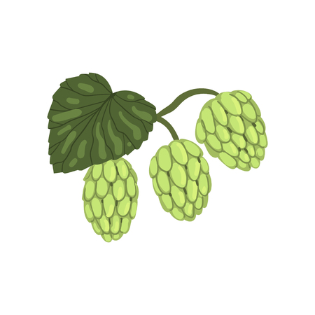 Hops herb plant with leaf, element for brewery products design vector illustration on a white background. Illustration