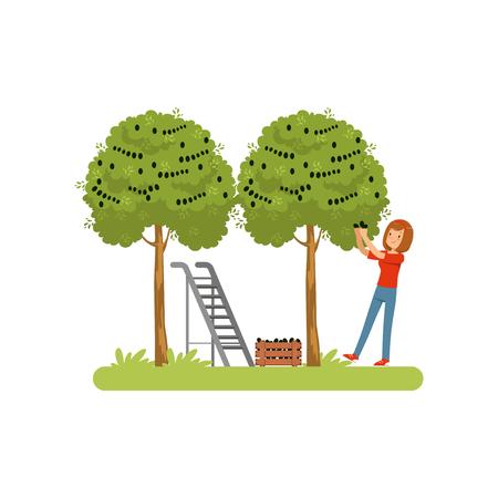 Girl harvesting olives, olive tree, ladder and wooden crate vector Illustration on a white background Banque d'images - 100828202