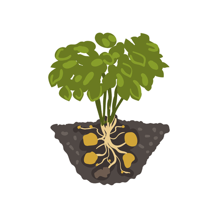 Potato plant, healthy organic food concept vector Illustration isolated on a white background. Illustration