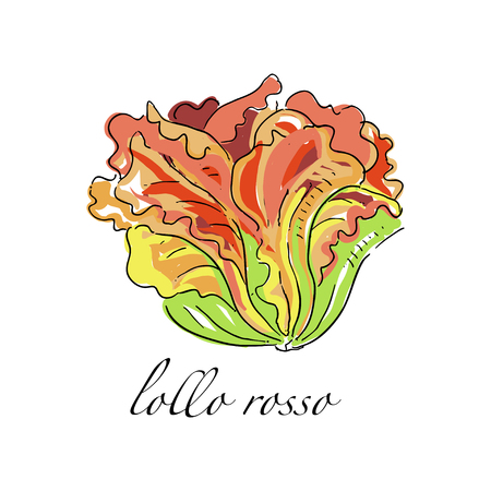 Lollo rosso fresh culinary plant, green seasoning cooking herb for soup, salad, meat and other dishes hand drawn vector Illustrations on a white background
