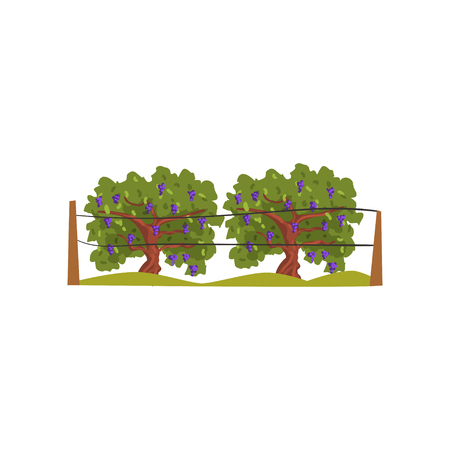 Vineyard with grapes bunches vector Illustration on a white background