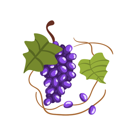 Fresh bunch of red grapes, winery production process vector Illustration on a white background