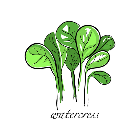 Watercress fresh culinary plant, green seasoning cooking herb for soup, salad, meat and other dishes hand drawn vector Illustrations on a white background