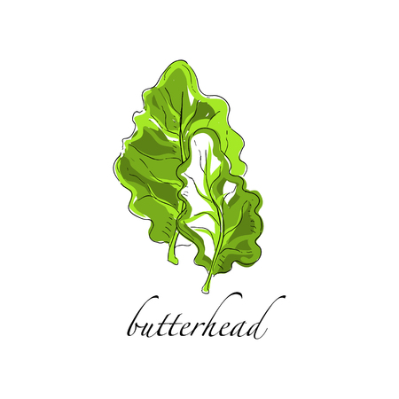 Butterhead fresh culinary plant, green seasoning cooking herb for soup, salad, meat and other dishes hand drawn vector Illustrations on a white background