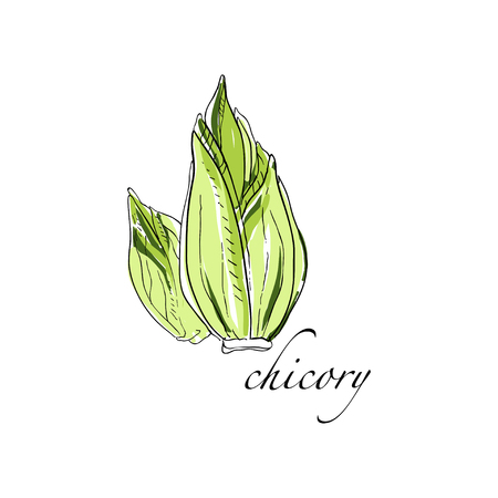 Chicory fresh culinary plant, green seasoning cooking herb hand drawn vector Illustrations on a white background Ilustracja