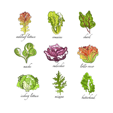 Fresh herbs set, oak leaf, romaine, chard, mache, radicchio, lollo, rosso, iceberg lettuce, mizuna, butterhead plants hand drawn vector Illustrations on a white background