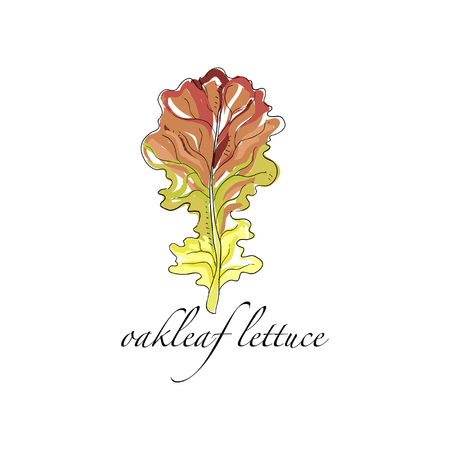 Oakleaf lettuce fresh culinary plant, green seasoning cooking herb hand drawn vector Illustrations on a white background