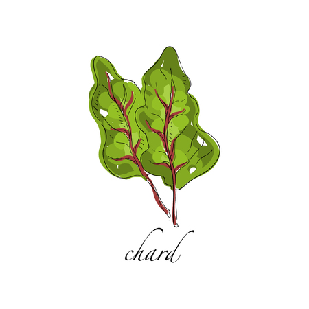 Chard fresh culinary plant, green seasoning cooking herb for soup, salad, meat and other dishes hand drawn vector Illustrations on a white background Çizim