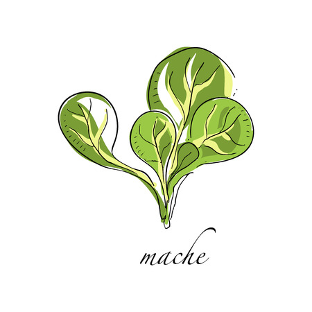 Mache fresh culinary plant, green seasoning cooking herb hand drawn vector Illustrations on a white background