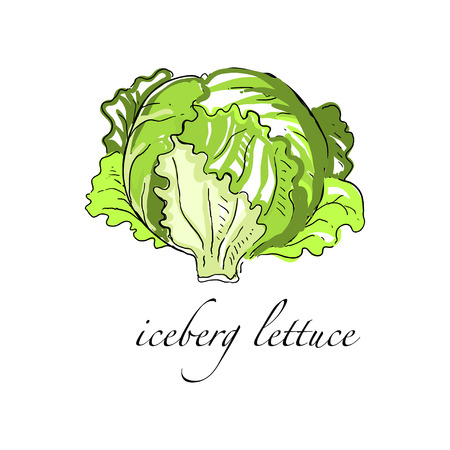 Iceberg lettuce fresh culinary plant, green seasoning cooking herb for soup, salad, meat and other dishes hand drawn vector Illustrations on a white background Ilustracja