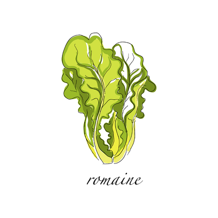 Romaine fresh culinary plant, green seasoning cooking herb hand drawn vector Illustrations on a white background