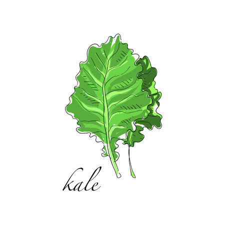 Kale fresh culinary plant, green seasoning cooking herb for soup, salad, meat and other dishes hand drawn vector Illustrations on a white background Illusztráció
