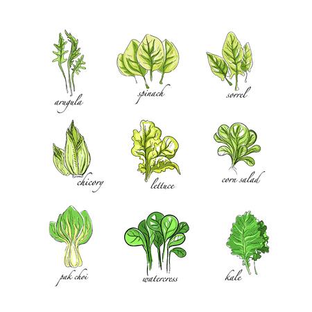 Set di erbe fresche, rucola, spinaci, acetosa, cicoria, lattuga, mais, bok choy, insalata, crescione, piante di cavolo disegnato a mano illustrazioni vettoriali su sfondo bianco Vettoriali