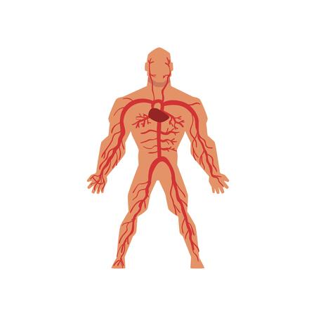Menschliches arterielles Kreislaufsystem, Anatomie des menschlichen Körpervektors Illustration lokalisiert auf einem weißen Hintergrund.