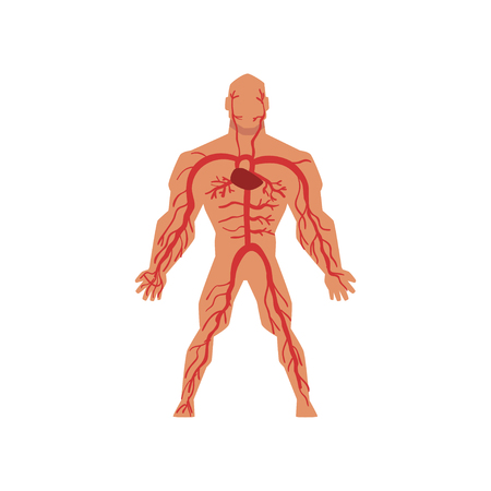 Sistema circolatorio arterioso umano, anatomia del corpo umano vettoriale illustrazione isolato su sfondo bianco.