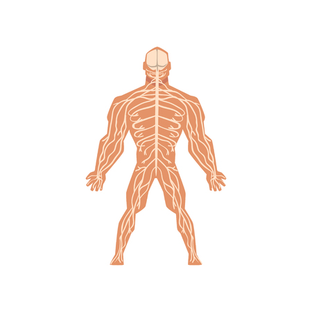 Human biological nervous system, anatomy of human body vector Illustration isolated on a white background. Ilustracja