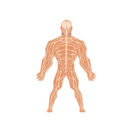 Menschliches biologisches Nervensystem, Anatomie des menschlichen Körpers Vektor Illustration isoliert auf weißem Hintergrund.