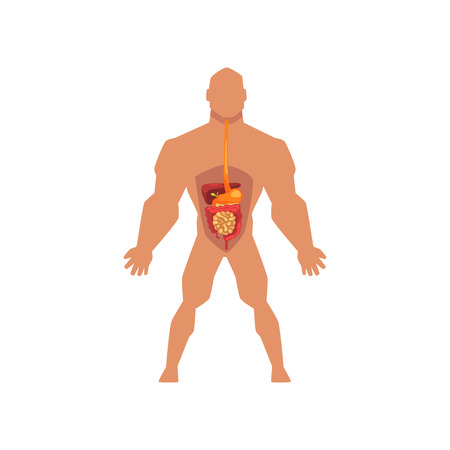 Human biological digestive system, anatomy of human body vector Illustration isolated on a white background. Ilustracja