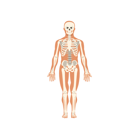 Human skeletal system, anatomy of human body vector Illustration isolated on a white background.