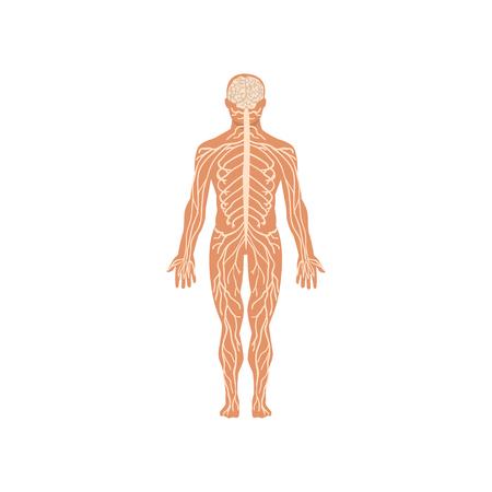 Menschliches Nervensystem, Anatomie des menschlichen Körpervektors Illustration auf einem weißen Hintergrund Vektorgrafik