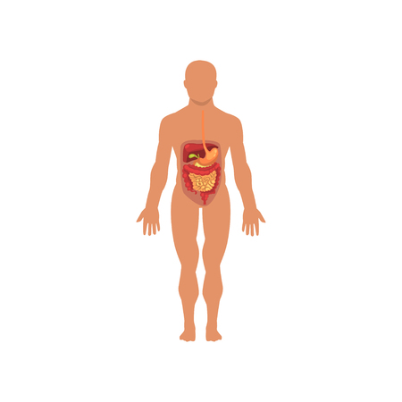 Human digestive system, anatomy of human body vector Illustration on a white background