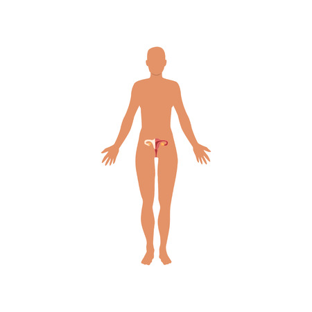 Female sexual system, anatomy of human body vector Illustration on a white background Zdjęcie Seryjne - 104332923