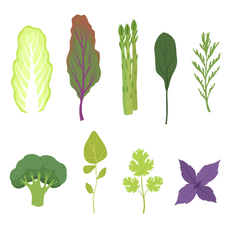 Fresh salad greens and leaves set, vegetarian healthy aromatic herbs and leafy vegetables for cooking vector Illustrations isolated on a white background. Illustration