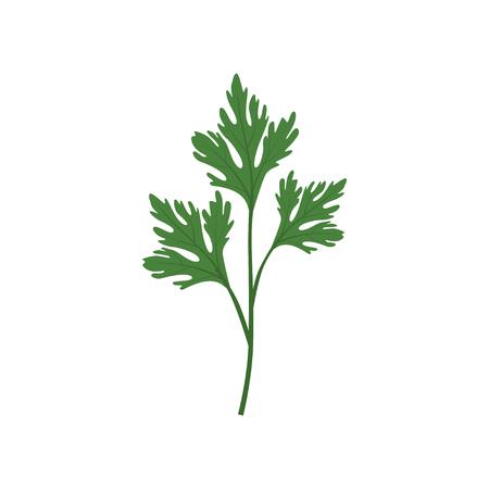 Fresh green parsley leaf, vegetarian healthy food, organic culinary aromatic herb vector Illustration isolated on a white background. Vektorgrafik