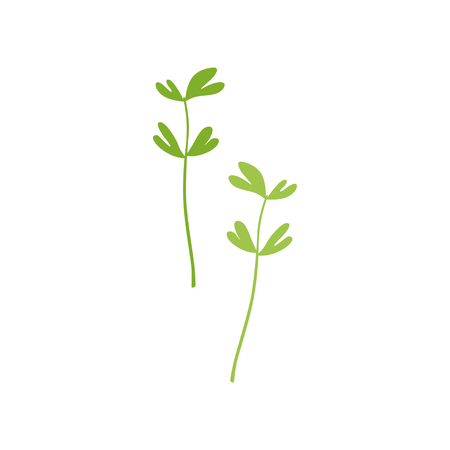 Fresh green fenugreek leaf, vegetarian healthy food, organic culinary aromatic herb vector Illustration isolated on a white background.
