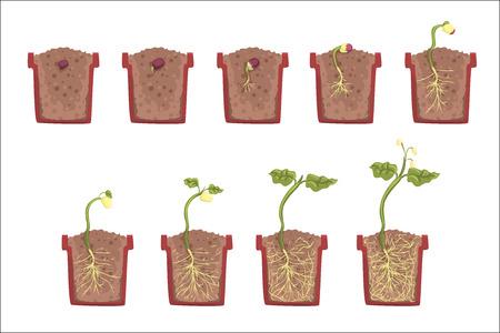 Pflanzensamenwachstum, Entwicklung und Verwurzelung im Blumentopf, klassische Botanik Lehrbuch pädagogische Infografik Illustration. Cartoon-Stil des Prozesses des Sprösslings, der aus dem Boden geht Vektorgrafik