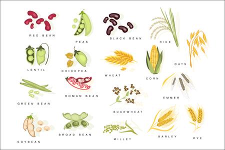 Piante di cereali con nomi impostati piatto realistico colore luminoso infografica illustrazione su sfondo bianco