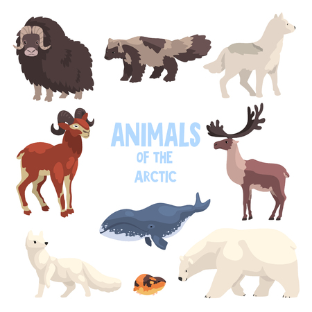 Arctic animals set, polar fox, bison, raccoon dog, wolf, mountain goat, killer whale, lemming, bear vector Illustration isolated on a white background.