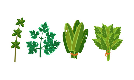 Culinary herbs and salad leaves set, sorrel, parsley, oregano vector Illustration isolated on a white background.