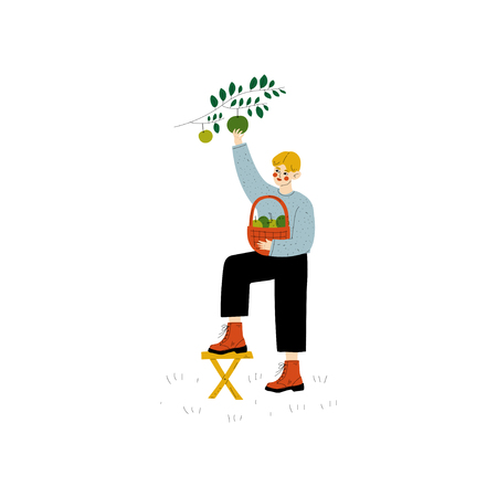 Young Man Picking Apples From Tree, Guy Working in Garden or Farm Vector Illustration on White Background.