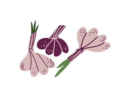 Fresh Whole Garlic Aromatic Vegetable Vector Illustration on White Background.