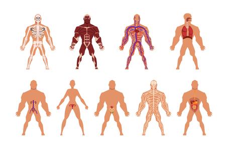 Diferentes sistemas de órganos humanos, muscular, circulatorio, respiratorio, nervioso, digestivo, excretor, sistemas vectoriales ilustraciones aisladas sobre fondo blanco. Ilustración de vector