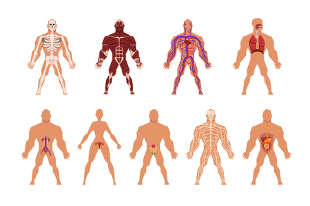 Different human organ system set, muscular, circulatory, respiratory, nervous, digestive, excretory, sexual systems vector Illustrations isolated on a white background.