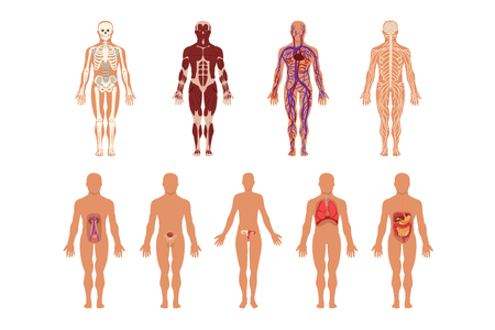 Different human organ system set, muscular, circulatory, respiratory, nervous, digestive, excretory, sexual systems, human body anatomy vector Illustrations isolated on a white background. Иллюстрация