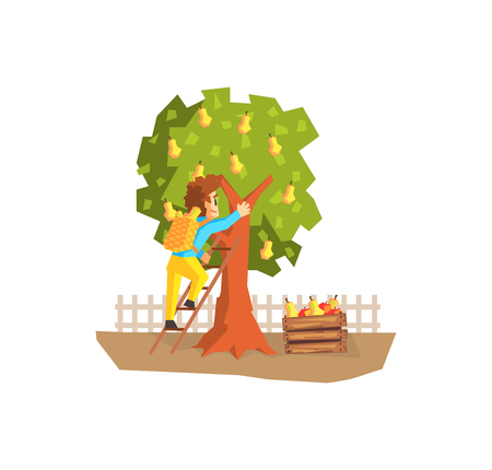 Male Farmer Picking Pears from Tree, Gardener at Work Vector Illustration on White Background. Ilustração