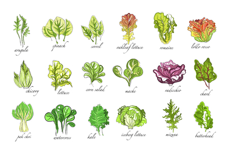 Fresh herbs set, arugula, spinach, sorrel, chicory,lettuce, corn, bok choy, salad, watercress, kale plants hand drawn vector Illustrations on a white background