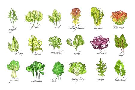 Frische Kräuter gesetzt, Rucola, Spinat, Sauerampfer, Chicorée, Salat, Mais, Bok Choy, Salat, Brunnenkresse, Grünkohlpflanzen Hand gezeichnete Vektor-Illustrationen auf einem weißen Hintergrund