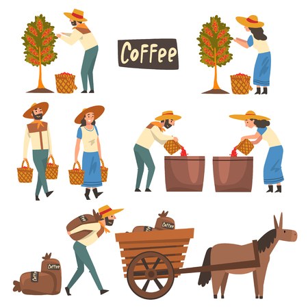 Farmers Gathering, Sorting and Packaging Coffee Beans Set, Coffee Industry Production Stages Vector Illustration on White Background. Illustration
