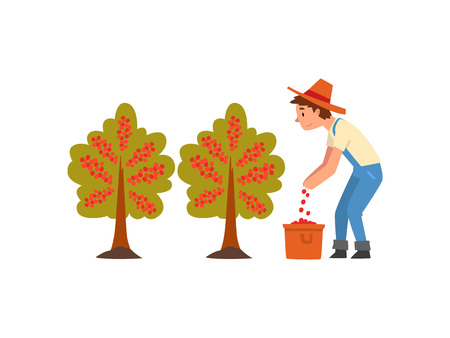 Male Farmer in Straw Hat Gathering Coffee Beans on Plantation, Coffee Industry Production Stage Vector Illustration Illustration