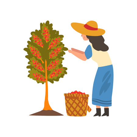 Female Farmer in Straw Hat Gathering Coffee Beans from Tree, Coffee Industry Production Stage Vector Illustration on White Background.