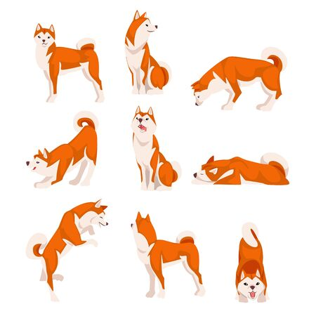 Shiba Inu Dog in Various Poses Set, Cute Japan Red White Fluffy Pet Animal Vector Illustration