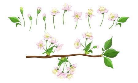 Blooming Tree Branches Set, Apple or Cherry Flower Blossom Stages, Pink Flower Flourish Process Vector Illustration